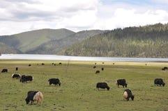Berg och yak för himmel som avlägset betar på grässlätten royaltyfri foto