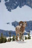 Berg Ram Standing im Schnee Lizenzfreie Stockfotos