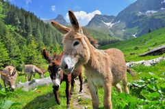 Berg-valey Landschaft mit Eseln Stockbild