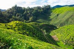 Berg von Teeplantagen und -baum mit blauem Himmel Stockbild