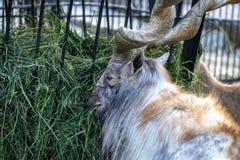 Berg wilde geit stock foto