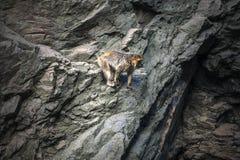 Bergaap in rotsen Stock Afbeelding