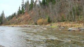 Bergachtige rivier Prut in het bos van Karpatische bergen stock video