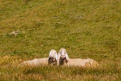 Bergamasca-Schafe, die auf Alpenwiese sich aalen Stockfoto