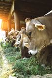 Bergamasche cows eat fresh hay from the manger Royalty Free Stock Photography