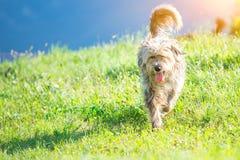 Bergamasco för herdehund i ängen arkivfoto