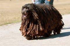 Bergamasco Italian Sheepdog With Dreadlocks Walks Through Park royalty free stock photography