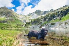 Bergamasco pasterskiego psa kąpanie w wysokogórskim jeziorze Obraz Royalty Free