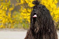 Bergamasco Schäferhund. lizenzfreie stockbilder