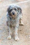 Bergamasco Sheepdog. In the mountains  of italy Stock Photography