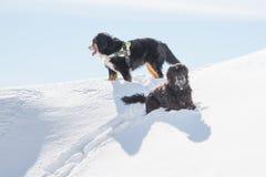 Bergamasco Shepherd is Oberland on snow in winter stock photography