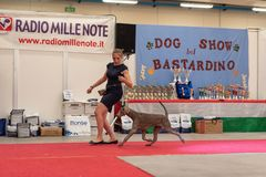 Exhibition of purebred dogs at Palasettembre, Chiuduno BG 14-1 stock photo