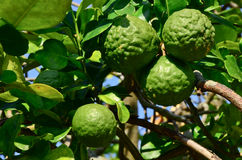 Bergamot. Four bergamot fruit on the tree behind my house stock image