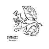 Bergamot flower branch vector drawing  Royalty Free Stock Photography