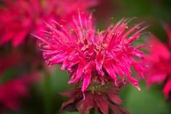 Bergamot Flower - Monarda Didyma Royalty Free Stock Photo