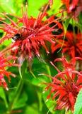 Bergamot flowers Stock Photos