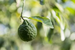 Bergamot in the forest royalty free stock photography