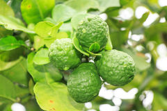 Bergamot. Four bergamot fruit on tree royalty free stock photos