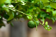 The bergamot is a fragrant herb. Stock Images