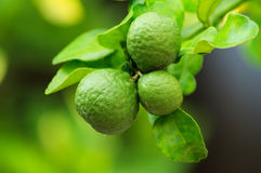 Bergamot. Fresh bergamot in herb garden stock photo