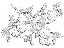 Bergamot fruit graphic branch black white isolated sketch illustration vector. Bergamot fruit graphic branch black white isolated sketch illustration Stock Photos
