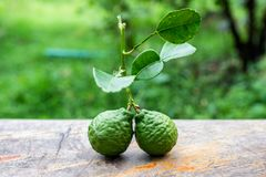 Bergamot fruit with leaf from garden on wood table. Bergamot fruit with leaf from garden on wooden table royalty free stock image