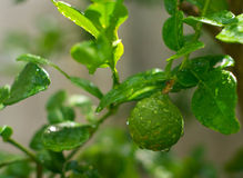 Bergamot. Fruit on the tree with water drop Royalty Free Stock Photography