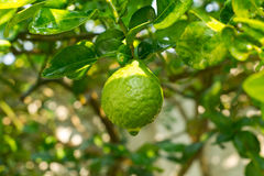 Bergamot. Fruit on the tree with water drop stock images