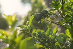 Bergamot with green foliage tree. Bergamot and green spring foliage leaf with dew drops after raining and bokeh sunset background. Abstract Nature pattern royalty free stock photo