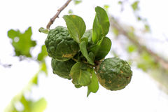 Bergamot and green leafs. On tree is a fragrant herb royalty free stock photo