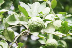 Bergamot oil spa Stock Photos