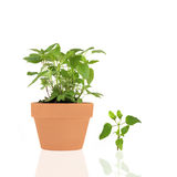 Bergamot Herb. Growing in a terracotta pot with leaf and reflection, over white background royalty free stock photo