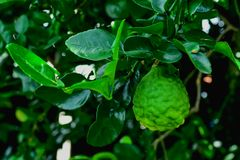 Bergamot. Is a herb that can be used by both consumers and industry royalty free stock images