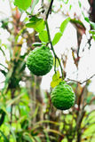 Bergamot. Is a herb that can be used by both consumers and industry stock photography