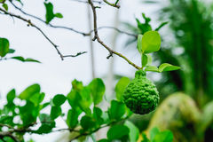 Bergamot. Is a herb that can be used by both consumers and industry royalty free stock photo