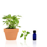 Bergamot Herb Essential Oil. Bergamot herb growing in a terracotta pot with specimen leaf sprig and essential oil blue glass bottle, over white background royalty free stock photography