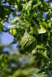 Bergamot or kaffir lime fruit. Hanging on tree Stock Photo