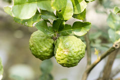 Bergamot (Kaffir Lime) fruits Royalty Free Stock Photos