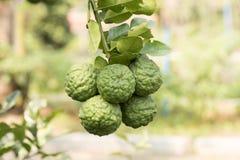 Bergamot (Kaffir Lime) fruits. Royalty Free Stock Photography