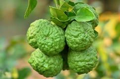 Bergamot (Kaffir Lime) fruits. Bergamot (Kaffir Lime) fruits,medicinal properties stock image