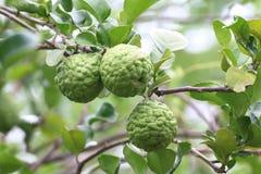 Bergamot, kaffir Lime Leaf farm tree nature Herb for Bergamot Oil. Bergamot, kaffir Lime Leaf farm tree Herb for Bergamot Oil royalty free stock photos