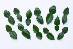Bergamot kaffir lime leaves herb fresh ingredient isolated on white. Background royalty free stock image