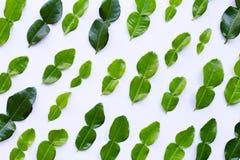 Bergamot kaffir lime leaves herb fresh ingredient on white. Background stock image