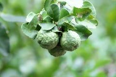 Bergamot (Kaffirlimefrukt) Royaltyfri Foto