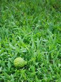Bergamot on The Lawn Stock Images
