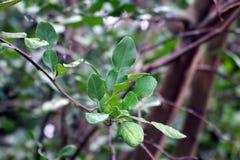 Bergamot leaf, kaffir Lime Leaf. Bergamot leaf nature, kaffir Lime Leaf stock image