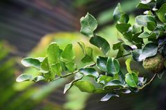 Bergamot leaf, kaffir Lime Leaf. Bergamot leaf nature, kaffir Lime Leaf royalty free stock photo