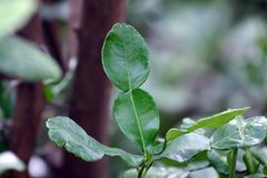 Bergamot leaf nature, kaffir Lime Leaf royalty free stock image