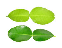 Bergamot leaf on white background Royalty Free Stock Images