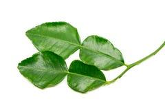 Bergamot leaf  Stock Images